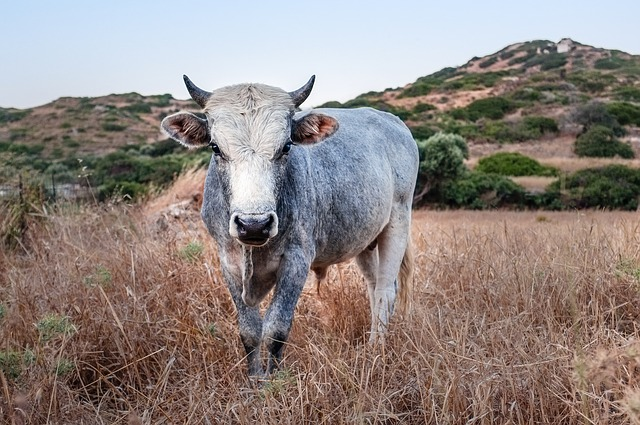 cow-768644_640