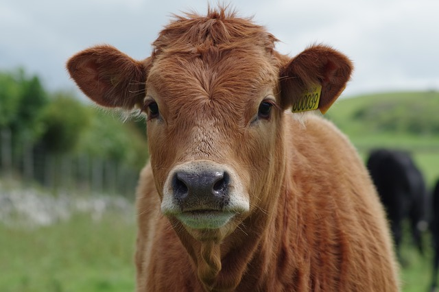 cow-897533_640