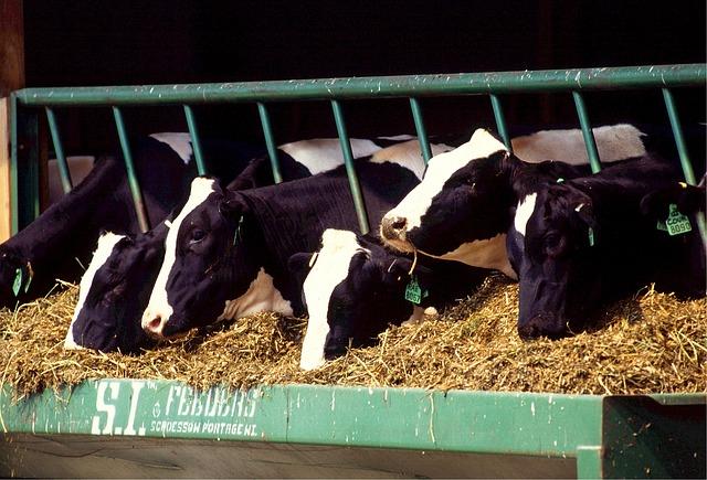 cows-526771_640