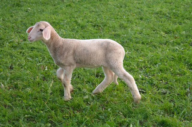 lamb-231888_640