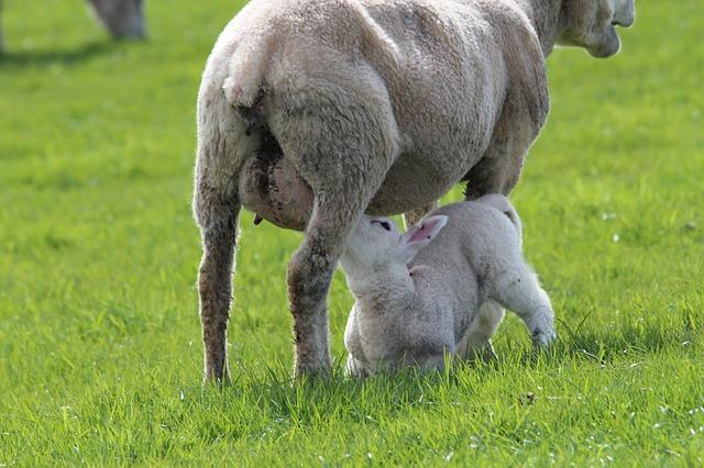 lamb-323063_640