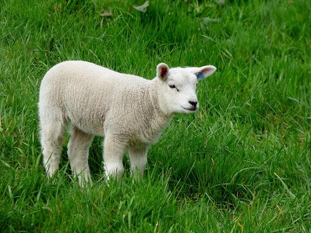 lamb-502557_640