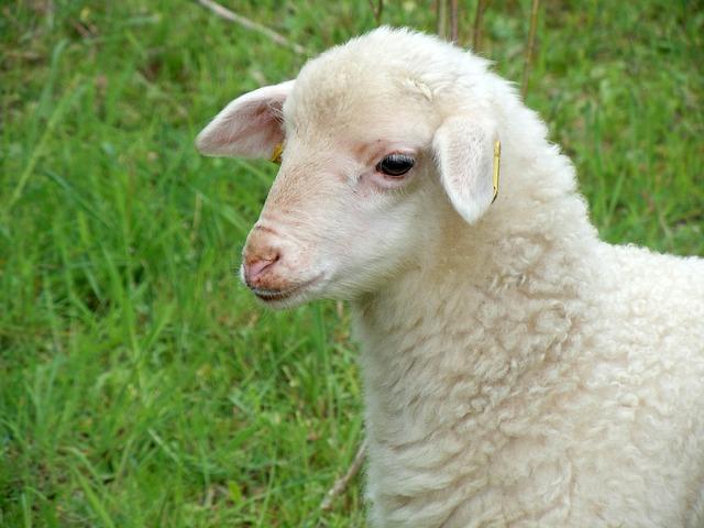 lamb-767991_640