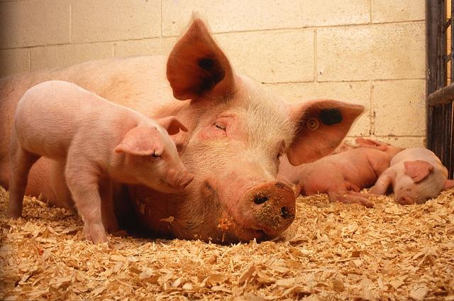 pigs-387204_640