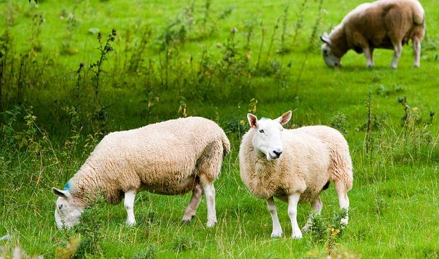 sheep-164961_640
