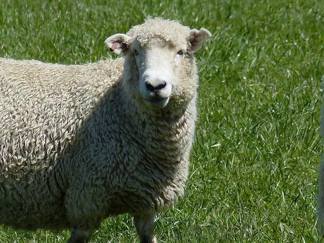 sheep-215737_640