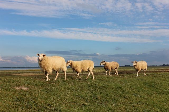 sheep-445337_640