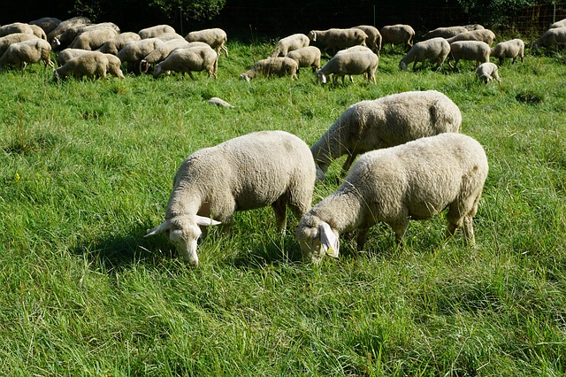 sheep-876399_640