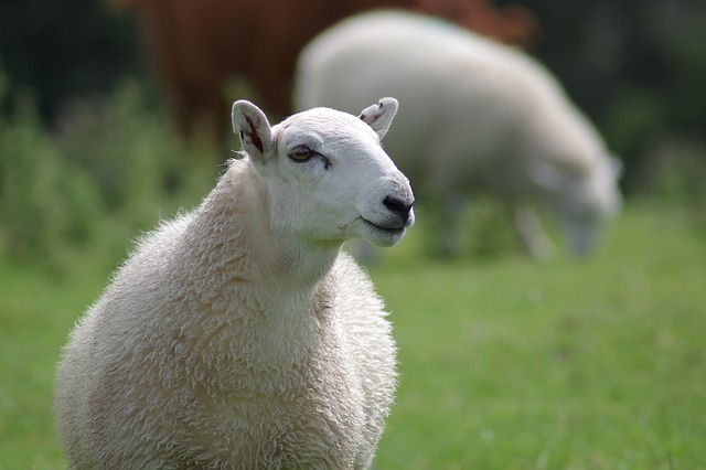 sheep-897538_640