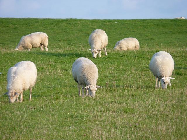 sheep-957523_640